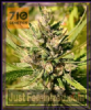 710 Genetics Majestic Lemon Fem 5 Weed Seeds